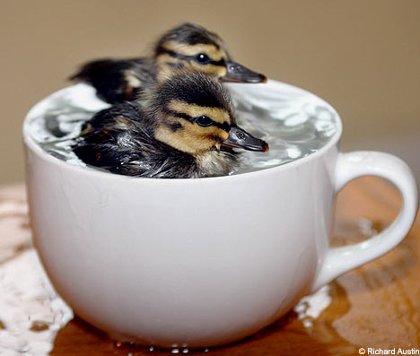 do you take sugar with your ducklings?